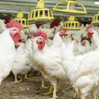 confinement agriculture poultry