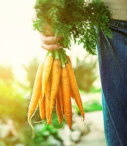 Picked Carrots - person holding a bunch of carrots