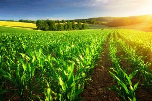 what is crop insurance - field of corn