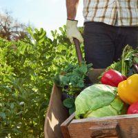 worker's compensation insurance - farm worker pushing wheelbarrow of vegetables