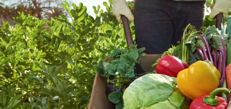 worker's compensation insurance - farm worker pushing wheelbarrow of vegetables