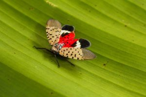 spotted lantern fly on a leaf