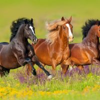 three horses running through a meadow