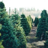 trees in a line at a christmas tree farm