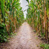 entrance to a corn maze